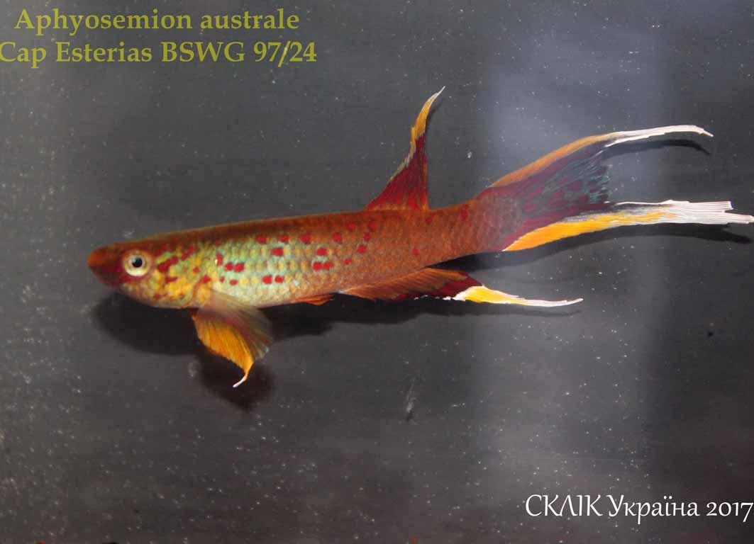 Aphyosemion australe Cap Esterias BSWG 9724 (1)