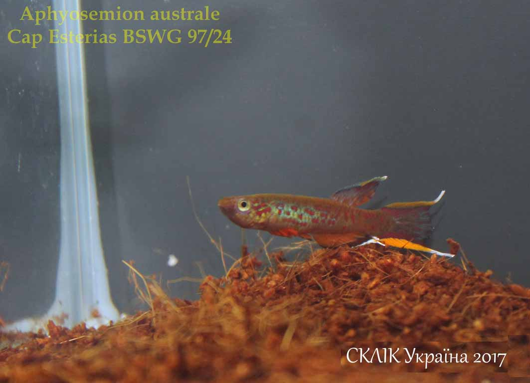 Aphyosemion australe Cap Esterias BSWG 9724 (2)