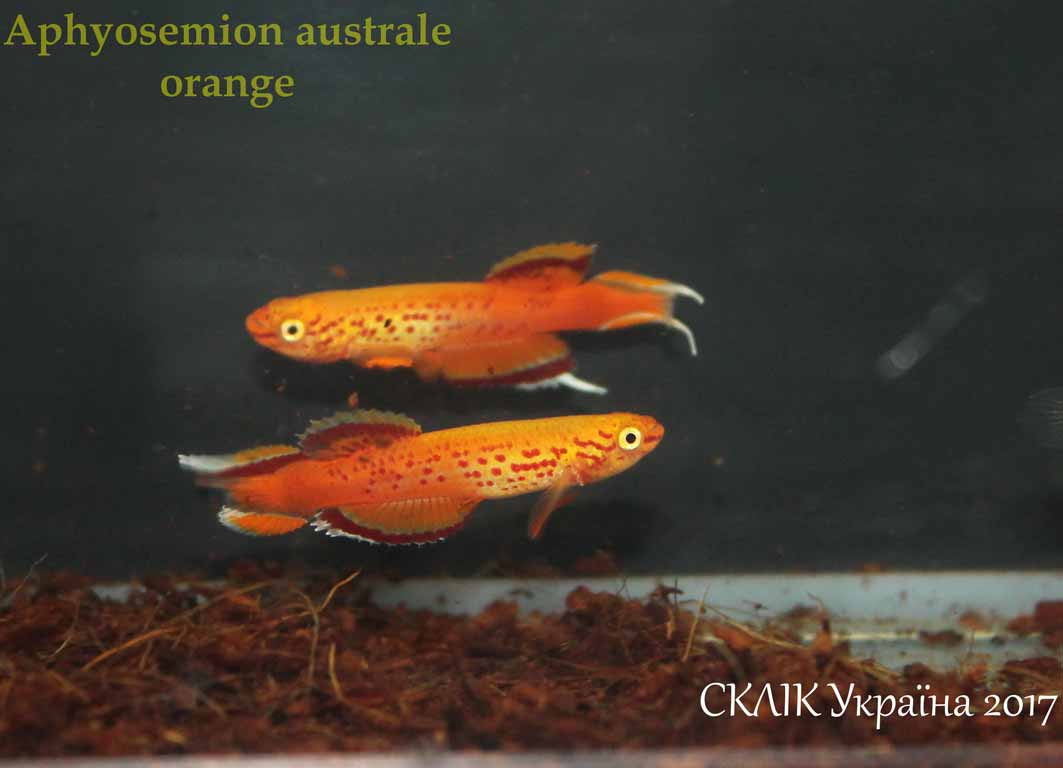 Aphyosemion australe orange (2)