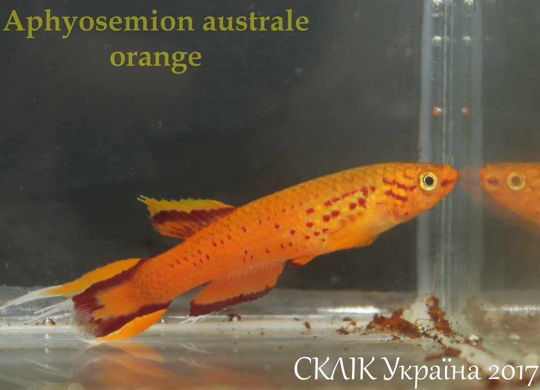 Aphyosemion australe orange (3)