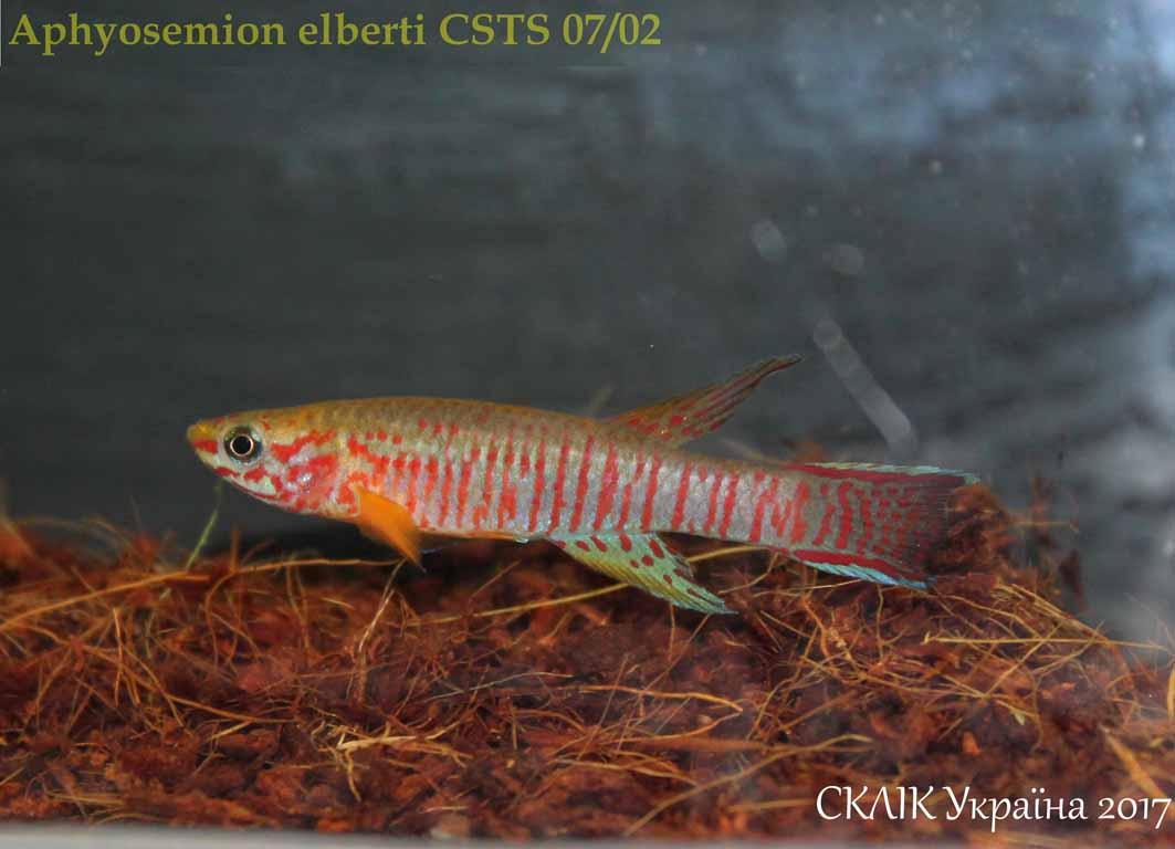 Aphyosemion elberti CSTS 0702 (3)