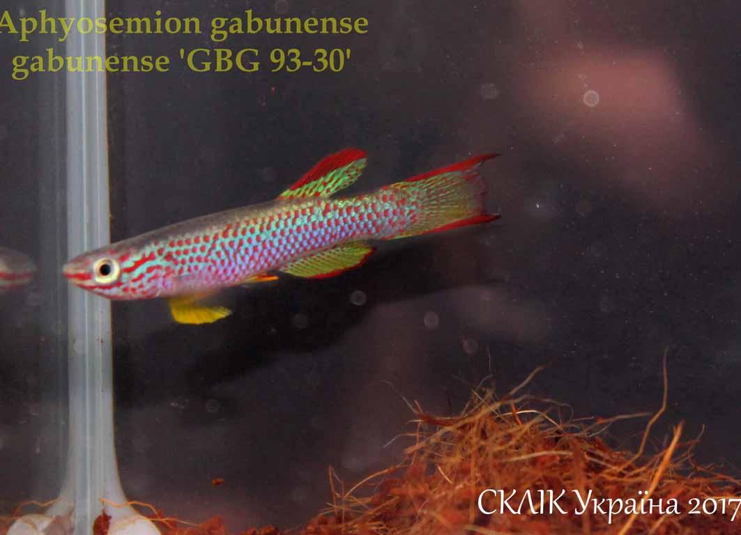 Aphyosemion gabunense GBG 93-30