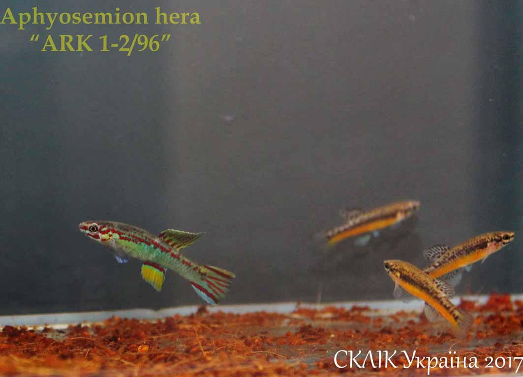 "Aphyosemion hera ""ARK 1-296"" (1)"