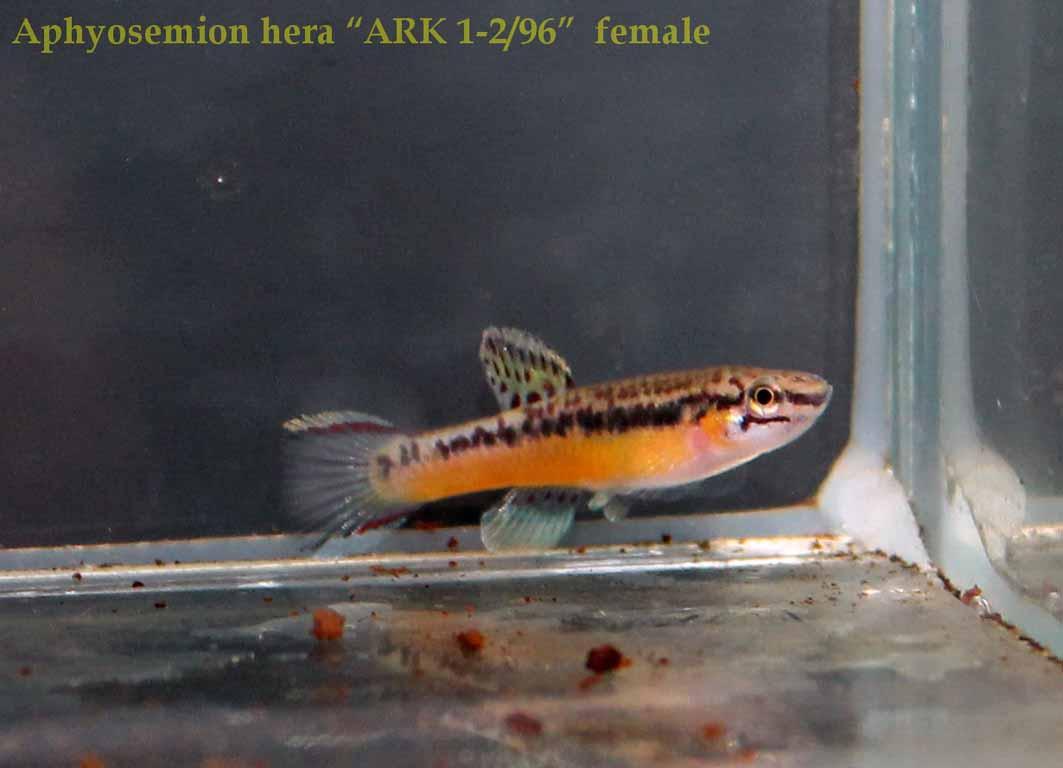 "Aphyosemion hera ""ARK 1-296"" (2)"