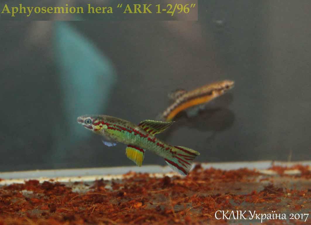 "Aphyosemion hera ""ARK 1-296"" (3)"