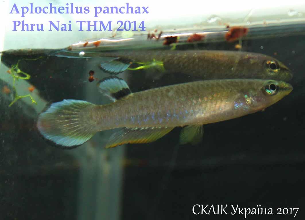 Aplocheilus panchax Phru Nai THM 2014