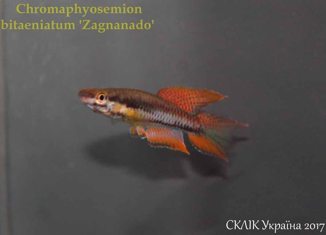 Chromaphyosemion bitaeniatum \'Zagnanado\'