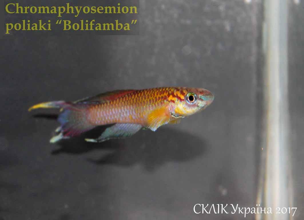 """Chromaphyosemion poliaki """"Bolifamba"""""""
