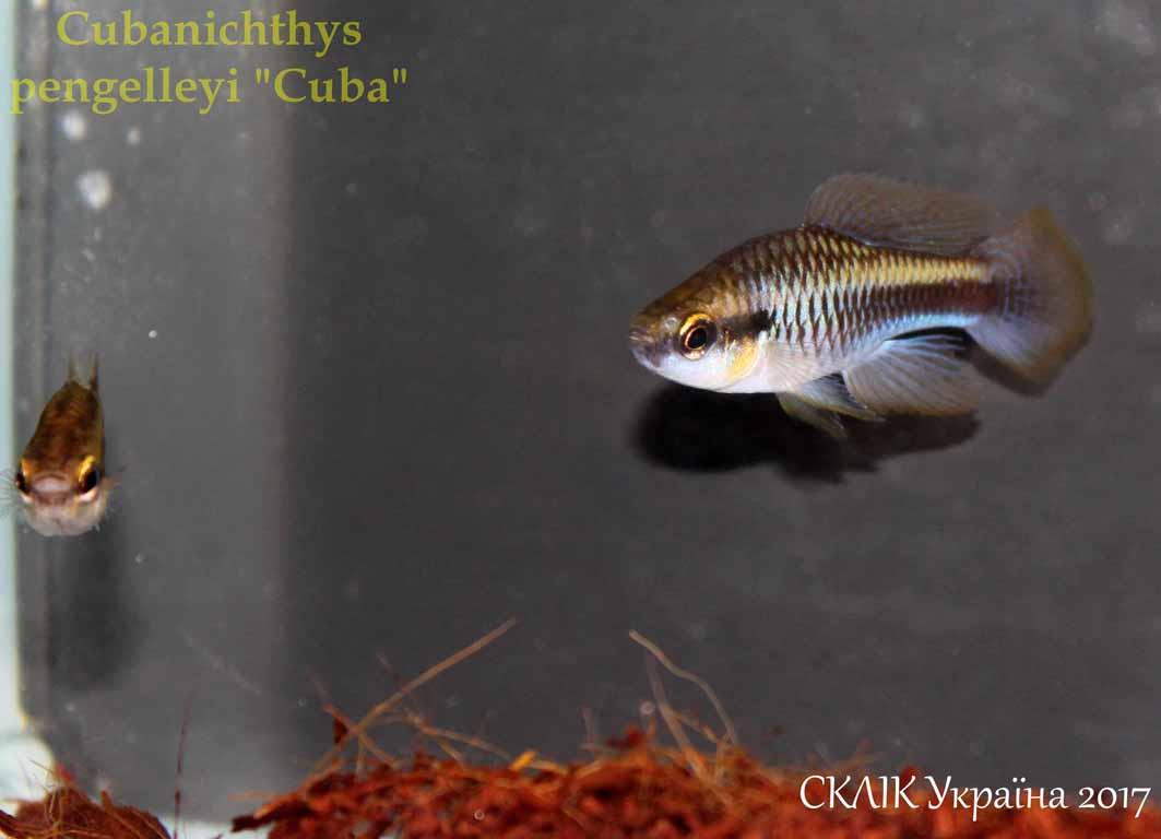 Cubanichthys pengelleyi Cuba (1)