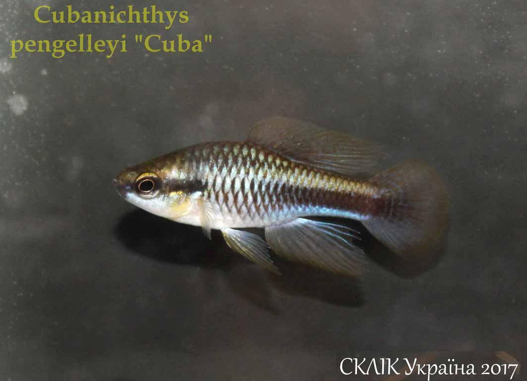 Cubanichthys pengelleyi Cuba (2)