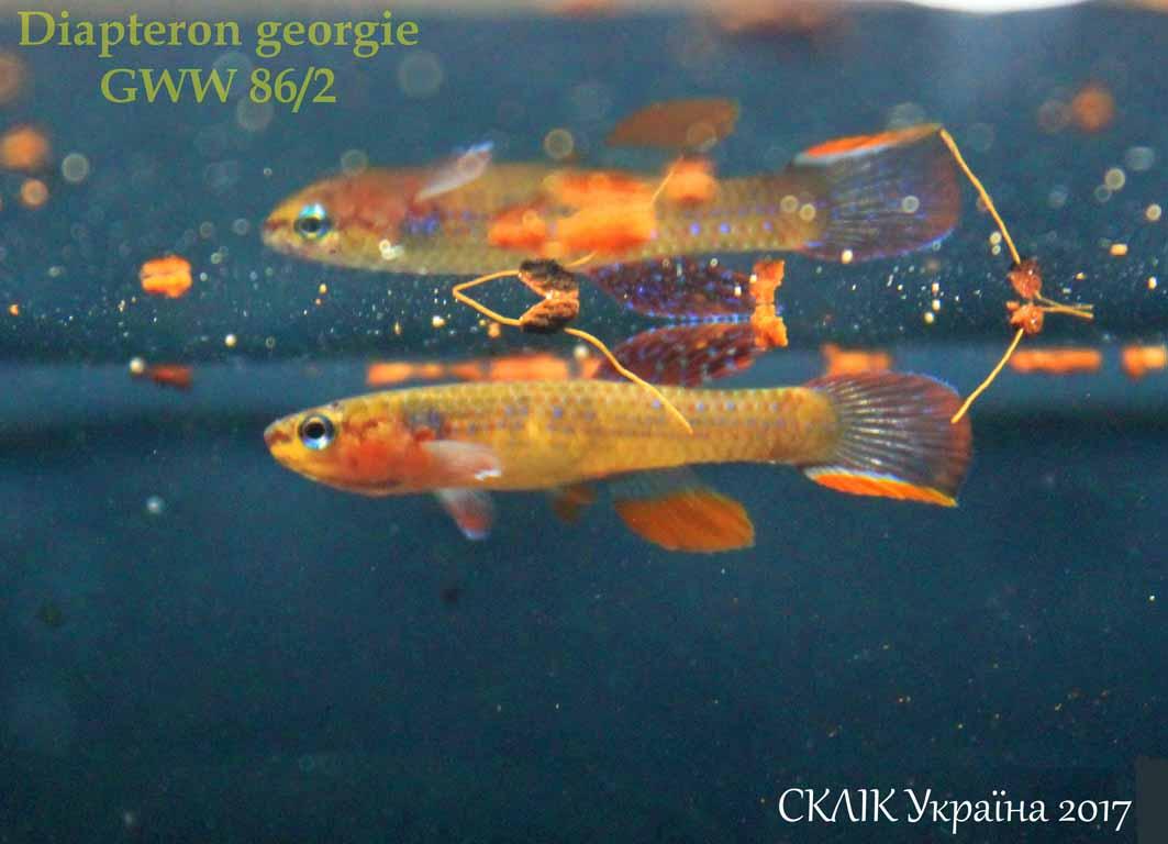 Diapteron georgie GWW 862 (1)