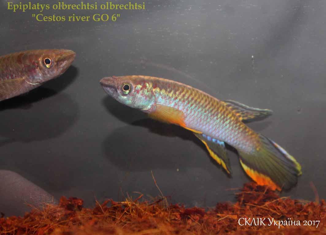 Epiplatys olbrechtsi olbrechtsi Cestos river GO 6 (4)