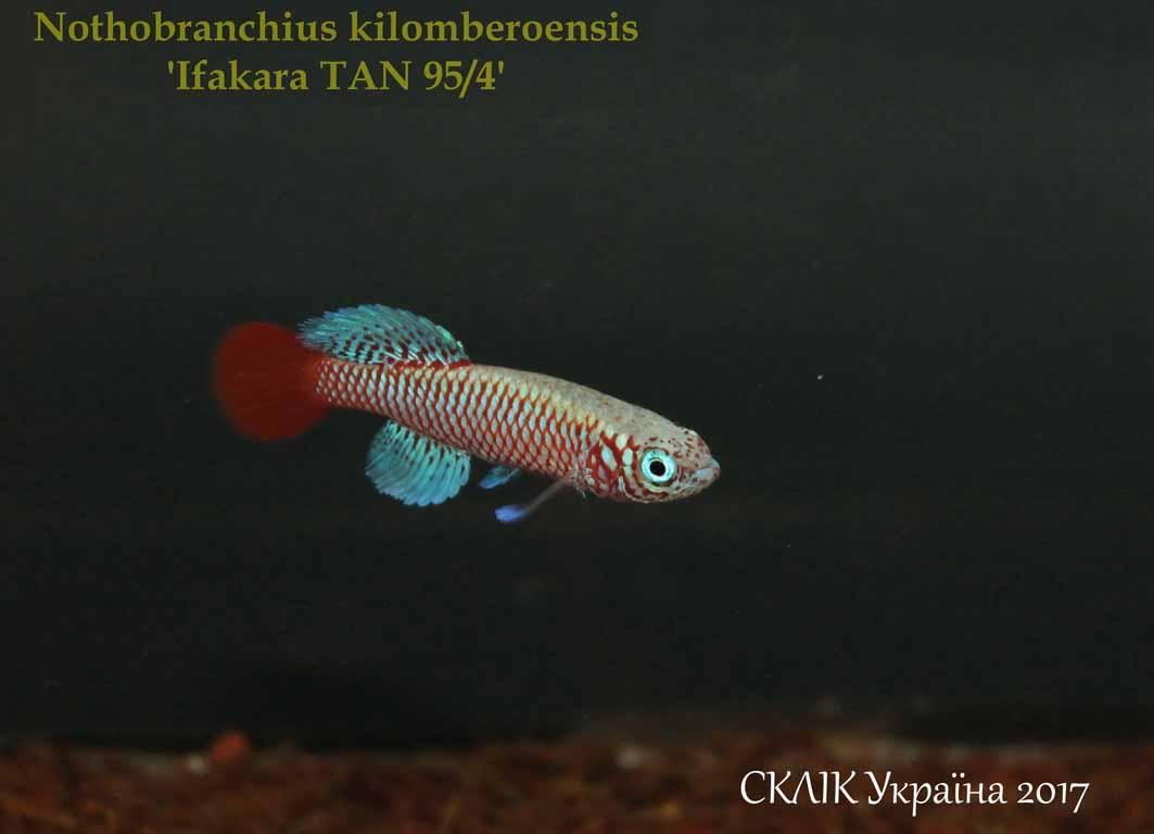 Nothobranchius kilomberoensis \'Ifakara TAN 954\'