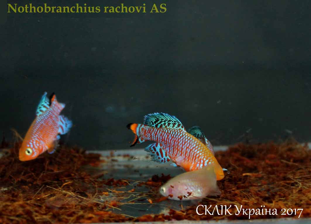 Nothobranchius rachovi AS (2)