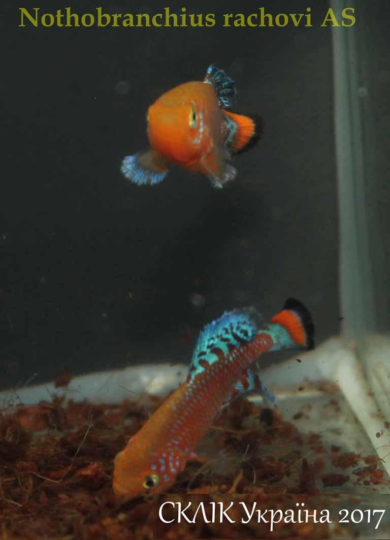 Nothobranchius rachovi AS (3)