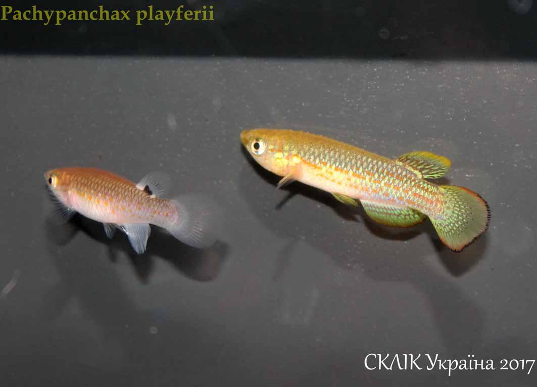 Pachypanchax playferii