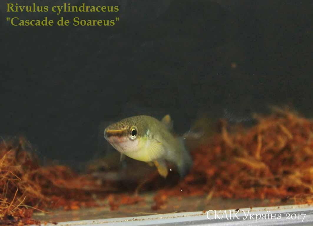 Rivulus cylindraceus Cascade de Soareus (1)