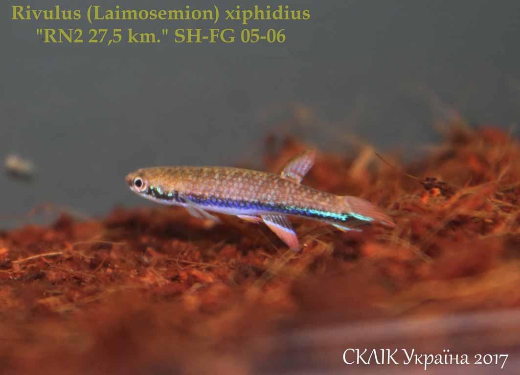 Rivulus xiphidius RN2 27.5km SH-FG 05-06 (1)